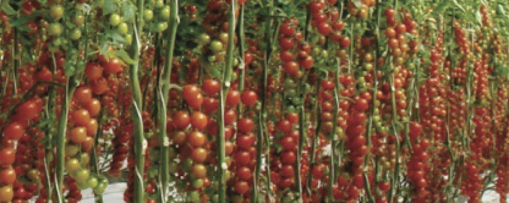 Pomodoro di Scicli